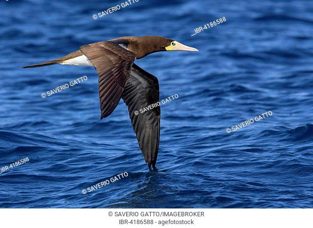 Brown booby (Sula leucogaster), adult in flight over the sea, sao nicolau, Cape Verde