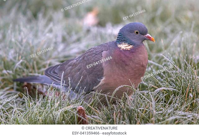 Wood pigeon (Columba palumbus) side view of one foraging bird in frosty grass with rime