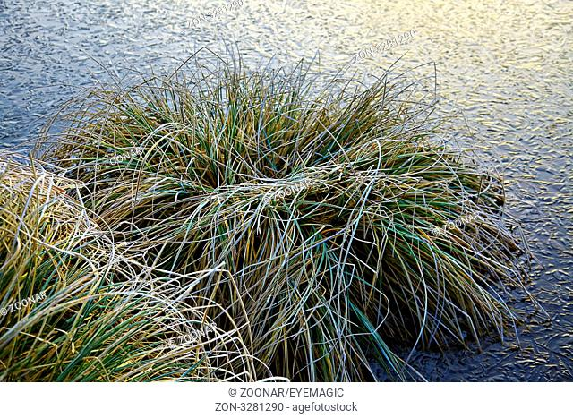 carex paniculata - ice surface in front, Lorraine, France