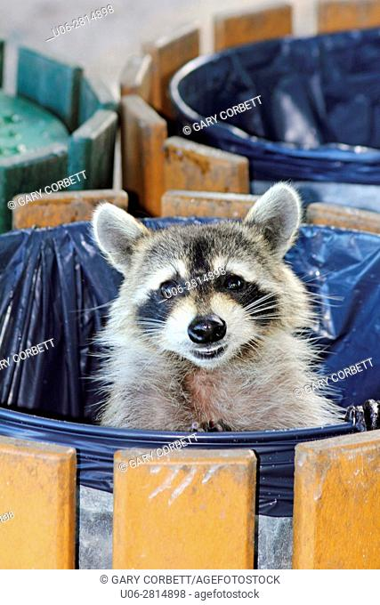A raccoon in a garbage can looking out