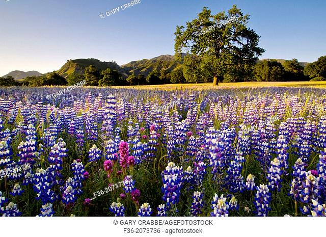 Field of Lupine and Owl's Clover wildflowers in Spring, Ventana Wilderness, Los Padres National Forest, California