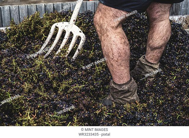 Close up of man with pitchfork standing in a vat of black grapes