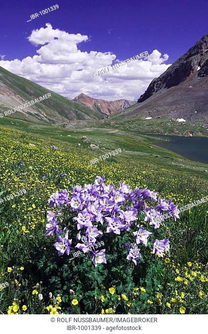 Clear lake and wildflowers in alpine meadow, Blue Columbine, Colorado Columbine (Aquilegia coerulea) and Alpine Avens (Geum), Ouray, San Juan Mountains