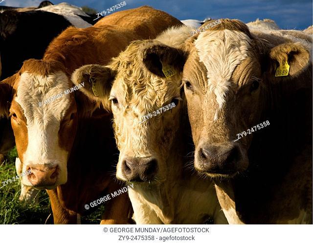 Friendly Cattle - Hereford and Charolais Breeds . Near Danesfort,. Co Kilkenny, Ireland