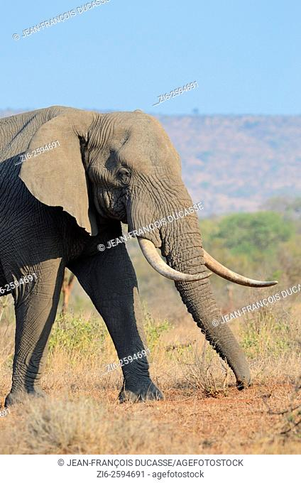 African bush elephant (Loxodonta africana), bull, feeding, Kruger National Park, South Africa, Africa