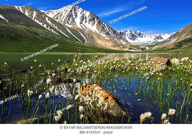 Blooming vegetation, Cottongrass (Eriophorum) and lake, snow-covered Altai mountains in the back, Mongolia
