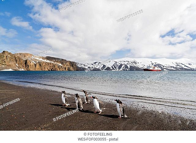South Atlantic Ocean, Antarctic, Antarctic Peninsula, South Shetland, Deception Island, Whalers Bay, Gentoo penguins walking on island, icebreaker in background