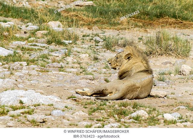 Lion (Panthera leo), male, Etosha National Park, Namibia