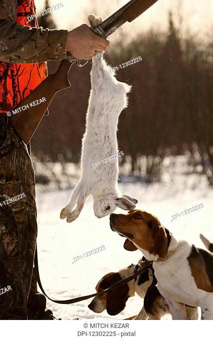 Snowshoe Hare Hunter Holds Up Hare For Beagles