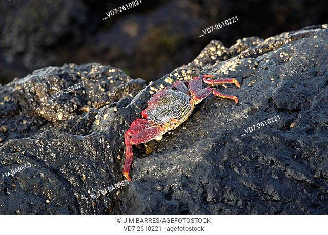 Red rock crab (Grapsus adscensionis) in the coast of San Andres, La Palma (Canary Islands)