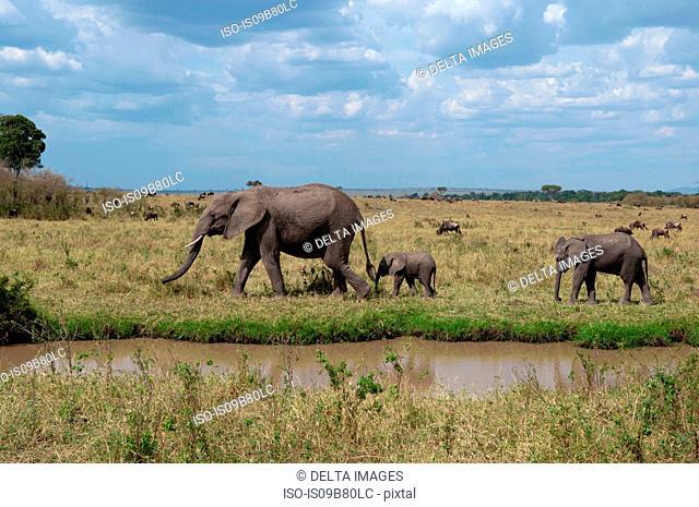 African Elephant and cubs (Loxodonta africana), Maasai Mara National Reserve, Rift Valley, Kenya, Africa