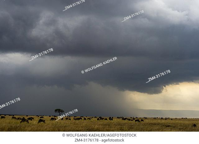 Wildebeests, also called gnus or wildebai, feeding and migrating during a thunderstorm through the grasslands towards the Mara River in the Masai Mara in Kenya