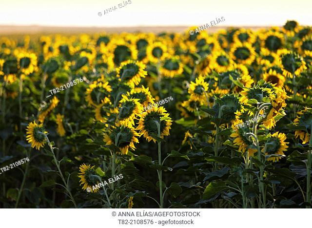 Sunflowers field Helianthus annuus, Sevilla province, Andalusia, Spain