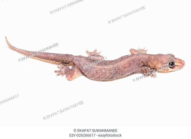 Tropical gecko lizard isolated on white background