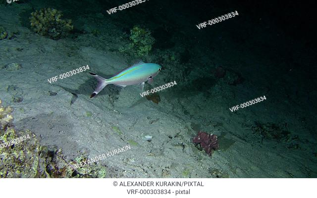 Sea fish Suez Fusilier (Caesio suevica) makes several turns in front of the camera, medium shot