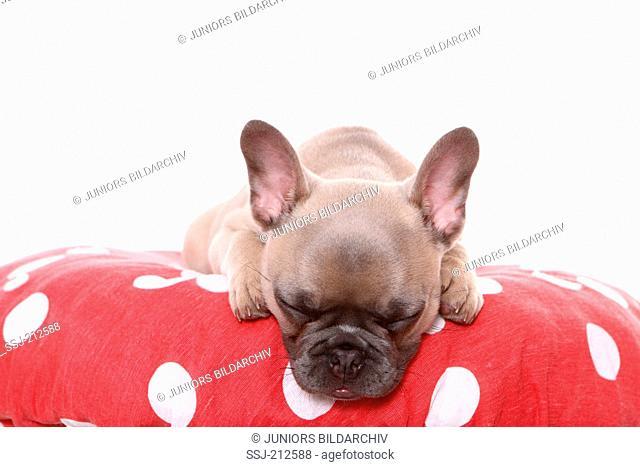 French Bulldog. Puppy (6 weeks old) sleeping on a big Fly Agaric. Germany