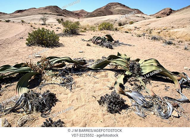 Welwitschia or tree tumbo (Welwitschia mirabilis) is a gimnosperm plant endemic to Namib Desert (Angola and Namibia). This photo was taken near Swakopmund