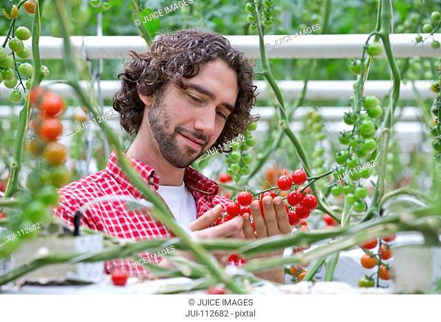 Grower examining ripe red vine tomatoes