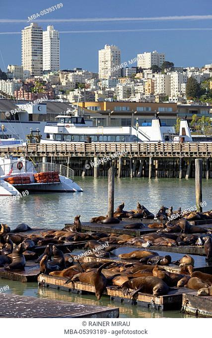 Sea lion colony, Pier 39, Fishermans Wharf, San Francisco, California, USA