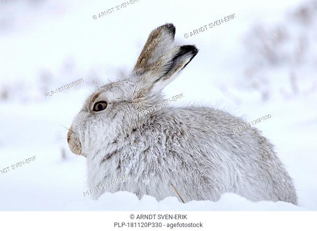 Close up of mountain hare / Alpine hare / snow hare (Lepus timidus) in white winter pelage resting on hillside during snowstorm