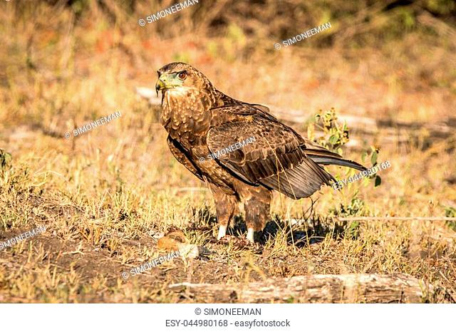 Juvenile Bateleur standing in the grass in the Kruger National Park, South Africa
