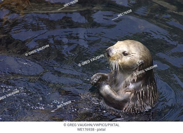 Sea Otter at Monterey Bay Aquarium; Monterey, California