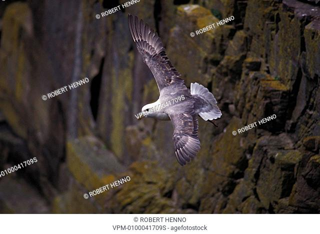 FULMARUS GLACIALISFULMARIN FLIGHT CLOSE TO THE CLIFFFOULA - SHETLAND