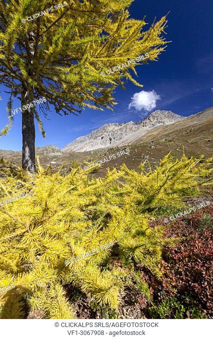 Yellow larch during autumn, Val Vezzola, Valdidentro, Valtellina, Sondrio province, Lombardy, Italy