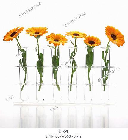 Marigold (Calendula officinalis) flowers