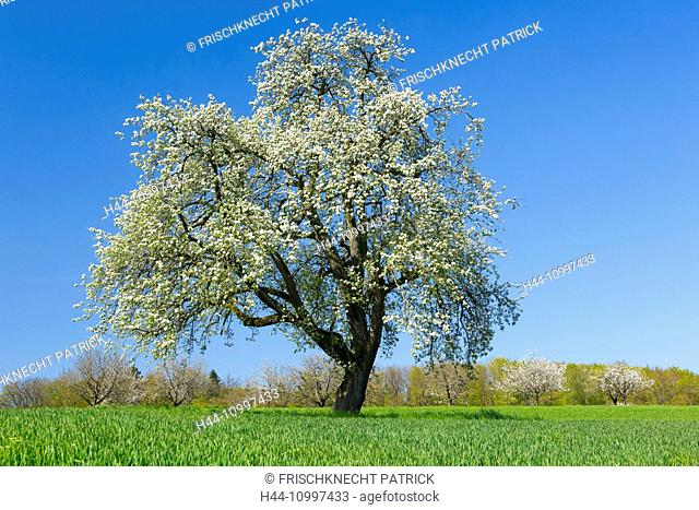 Blossoming pear tree in spring, Switzerland