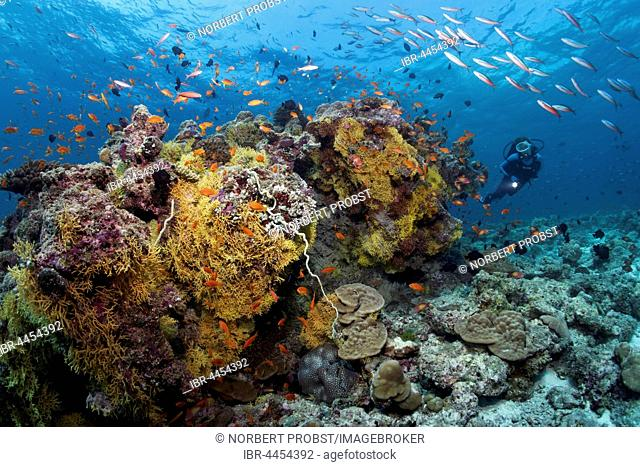 Diver viewing different soft corals, hard corals, tile fish (Antiinae), dark-banded fusiliers (Pterocaesio tile), Lhaviyani Atoll, Maldives