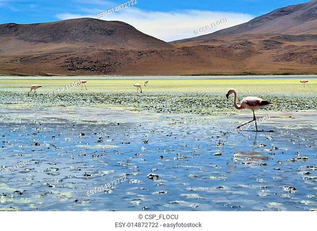 Flamingos on lake in the southern part of Bolivia