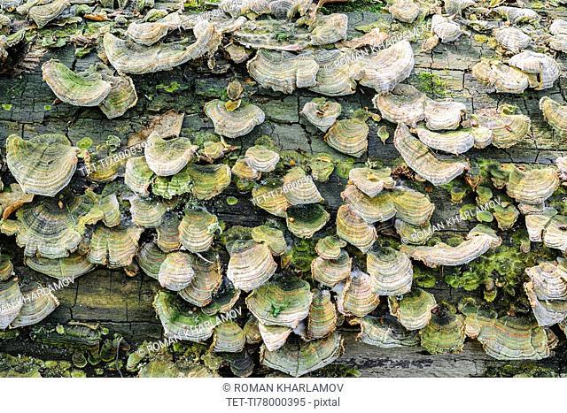 Ukraine, Dnepropetrovsk region, Novomoskovsk district, Trunk overgrown by Hoof fungus (Fomes fomentarius)