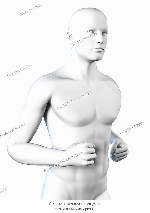 Human anatomy, computer illustration
