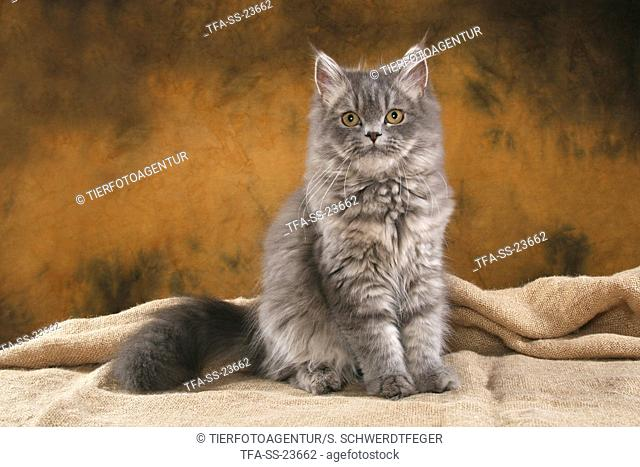 sitting young Persian tomcat