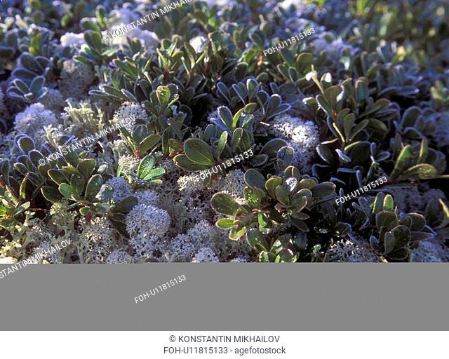 Baikal, East Siberia, Eatern Siberia, Siberia, close-up, flora