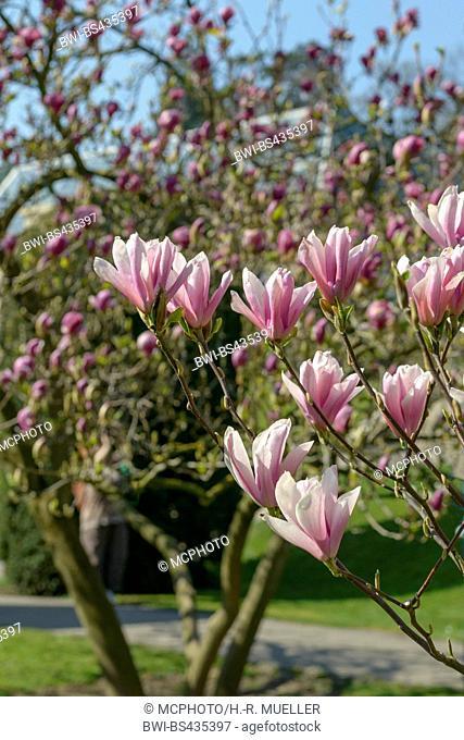 magnolia (Magnolia 'Heaven Scent', Magnolia Heaven Scent), cultivar Heaven Scent