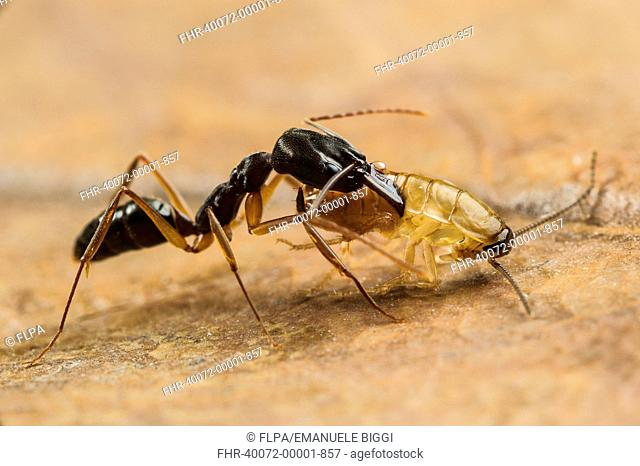 Trap-jaw Ant (Odontomachus sp.) adult, with captured cockroach larva prey (captive)