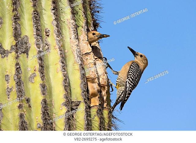Flicker at nest hole in saguaro, Riparian Preserve at Water Ranch, Gilbert, Arizona