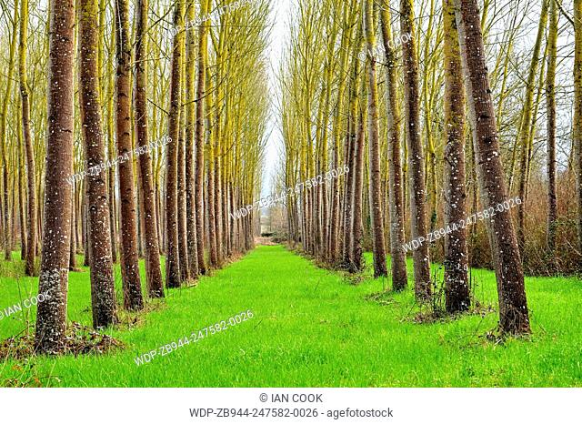 poplar, populus spp., forest near Moirax, Laperche, Lot-et-Garonne Department, Aquitaine, France