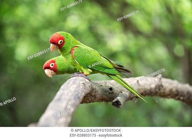 Red-masked parakeets (Psittacara erythrogenys), True parrots family (Psittacidae), Jorupe Biological Reserve, tropical dry forest, Western Andean foothills
