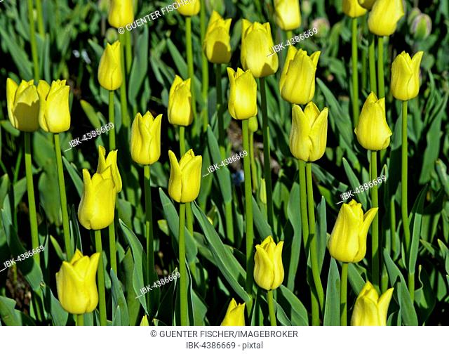 Yellow dutch tulips (Tulipa sp.), Lisse, Netherlands