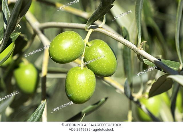 Olives on an olive tree, Antequera. Málaga province, Andalusia. Southern Spain Europe