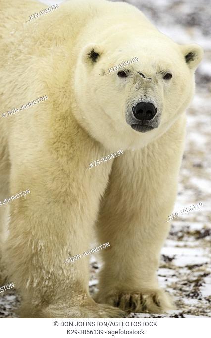 Polar Bear (Ursus maritimus) Curious individual approaching, Wapusk NP, Cape Churchill, Manitoba, Canada