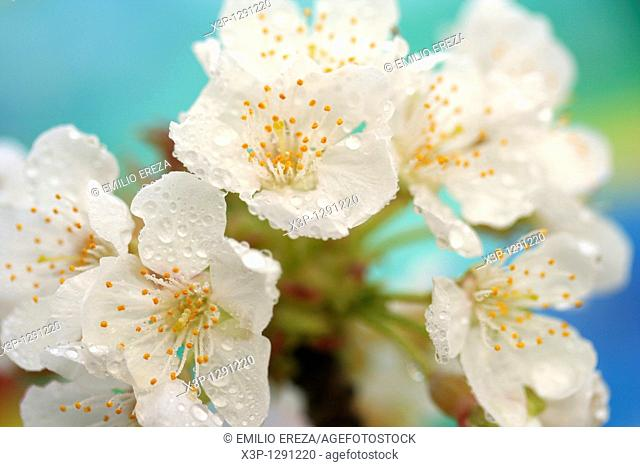 Dew on almond flowers Prunus dulcis o communis