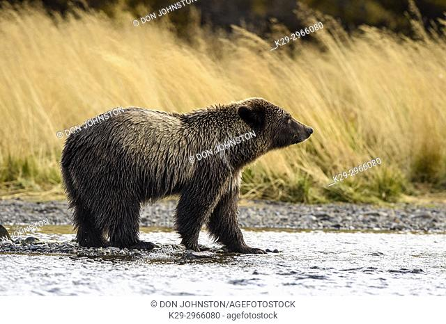 Grizzly bear (Ursus arctos)- Yearling cub wading shallows of the Chilko River, watching for spawning sockeye salmon. Chilcotin Wilderness, British Columbia BC