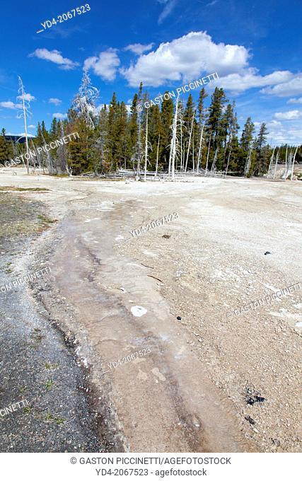 Dead pine in Upper Geyser Basin, Yellowstone National Park, Idaho, Montana and Wyoming, USA