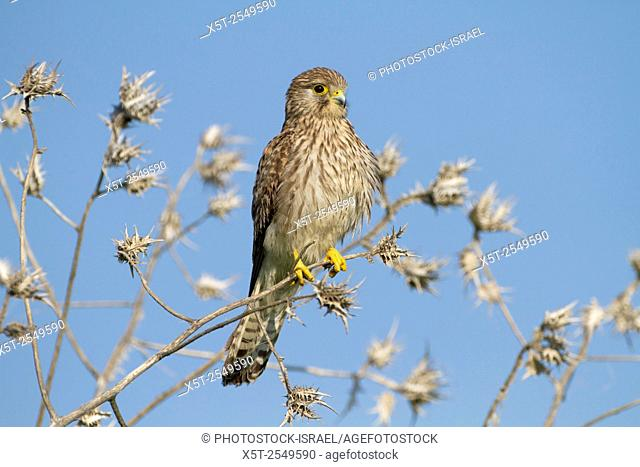 Common kestrel (Falco tinnunculus) perched on a branch. This bird of prey is a member of the falcon (Falconidae) family. It is widespread in Europe, Asia