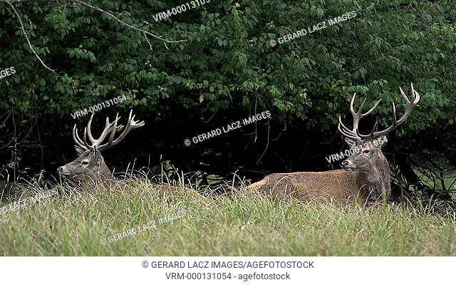 Red Deer, cervus elaphus, Stags standing in Wood, Sweden, Real Time