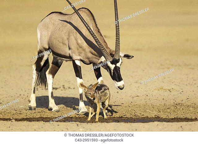 Gemsbok (Oryx gazella) and Black-backed Jackal (Canis mesomelas). The male oryx tries to chase away the jackal from the waterhole